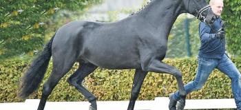 Two Premium Stallions licensed in Oldenburg